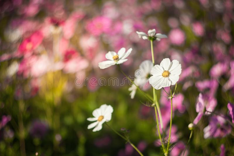 Cosmos flower in the green fields. Autumn, background, beautiful, beauty, bloom, blooming, blossom, blue, botanical, botany, bright, closeup, color, colorful stock photography