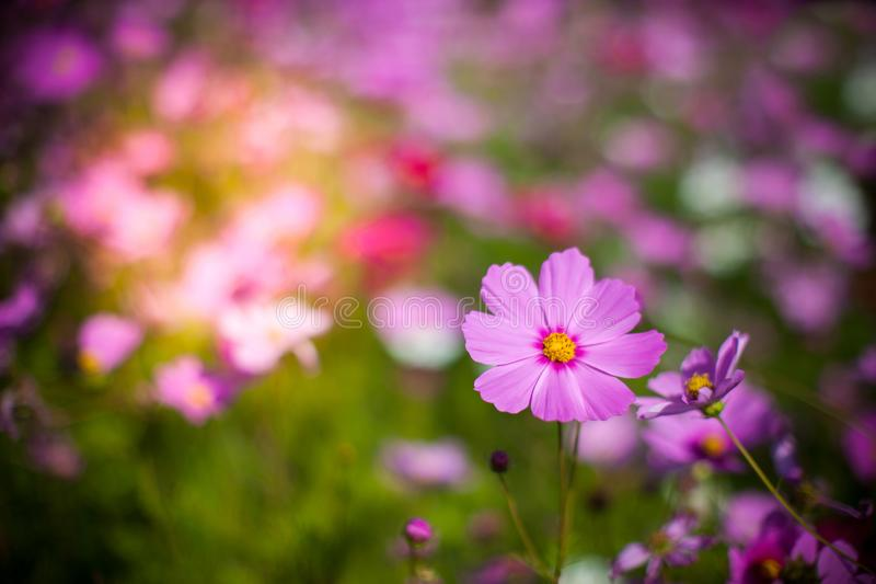 Cosmos flower in the green fields. Autumn, background, beautiful, beauty, bloom, blooming, blossom, blue, botanical, botany, bright, closeup, color, colorful stock photos