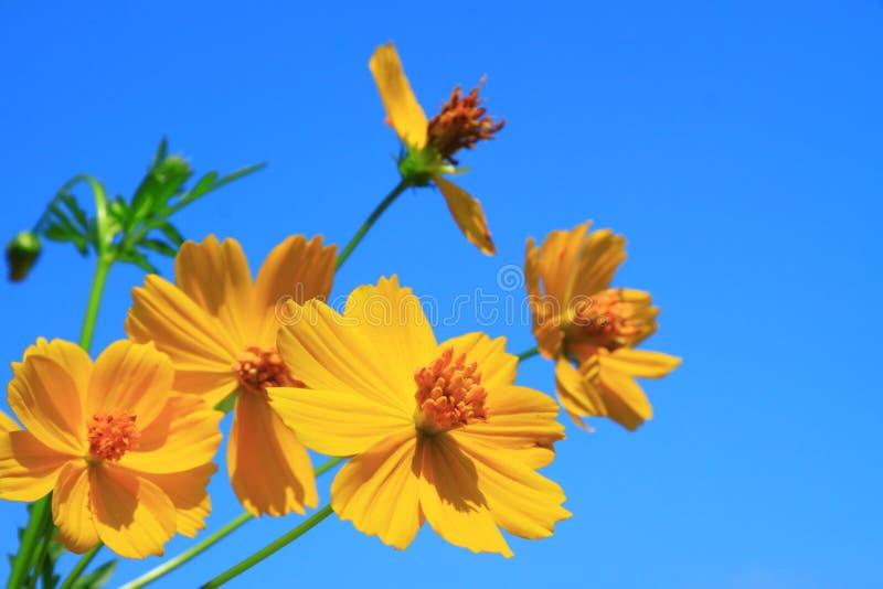 Cosmos Flower Groups Stock Photos