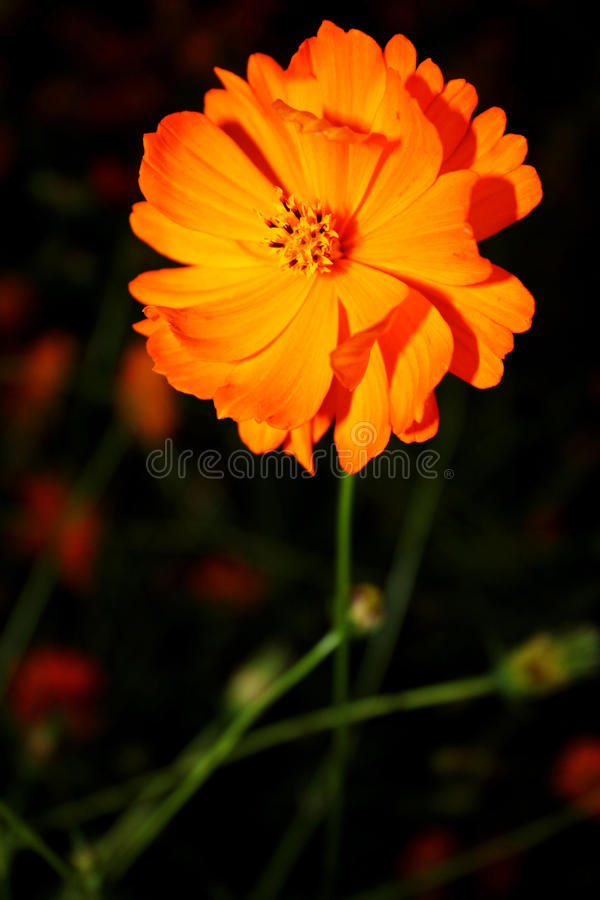 Download Cosmos flower stock image. Image of asterales, beautiful - 33797999