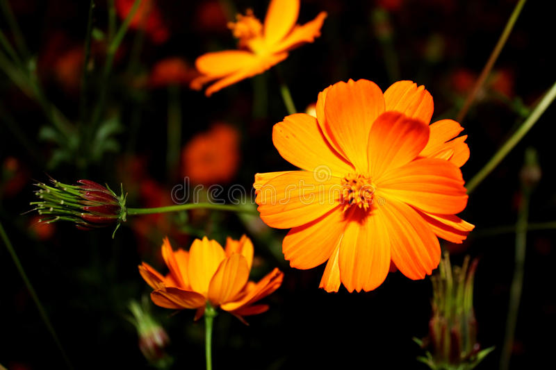 Download Cosmos flower stock image. Image of beauty, asterales - 33798029