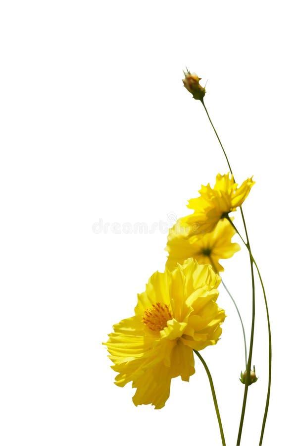 Cosmos flower isolated on white background. stock image