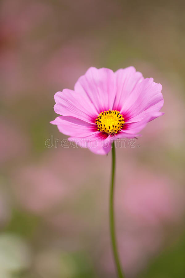 Download Cosmos flower stock image. Image of colorful, green, blooming - 38475355