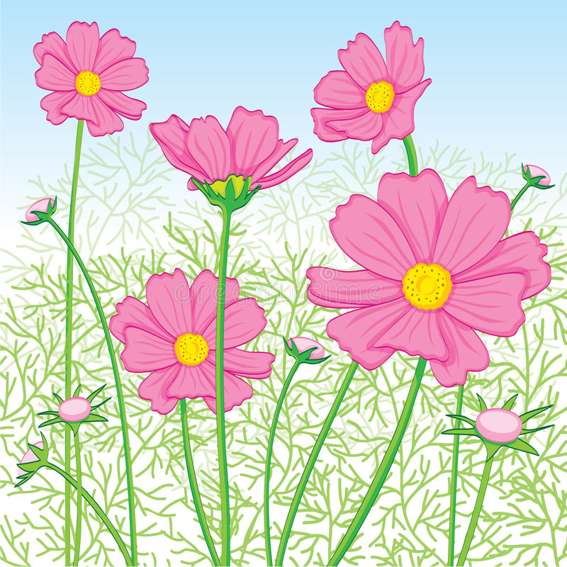 Cosmos Flower pink royalty free stock photography