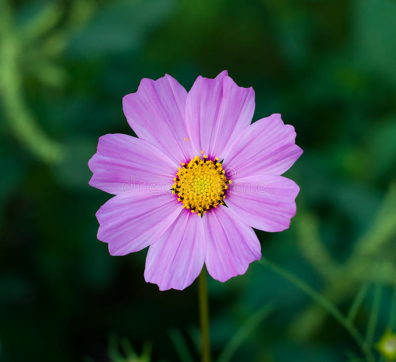 Cosmos flower (purple) royalty free stock image