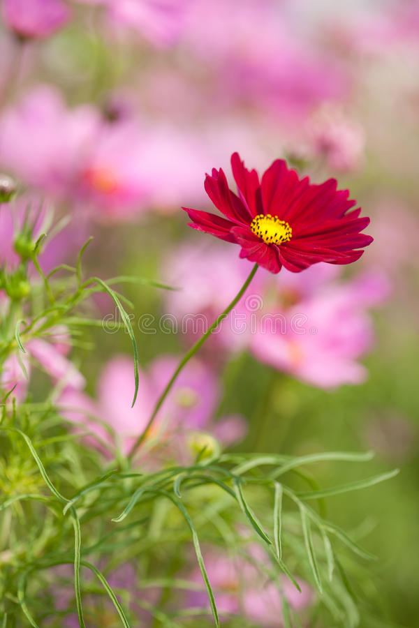 Download Cosmos flower stock image. Image of many, flora, environment - 38475941