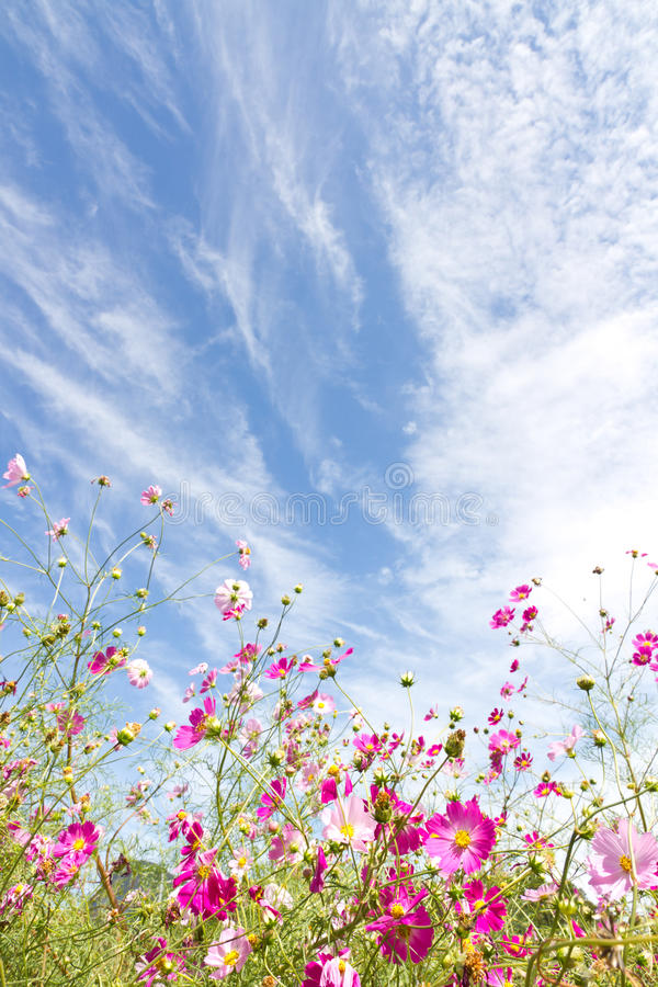 Download Cosmos flower and the sky stock photo. Image of color - 27544240
