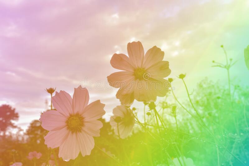 Cosmos flower with sky clouds soft blur background. In a pastel retro vintage style royalty free stock image