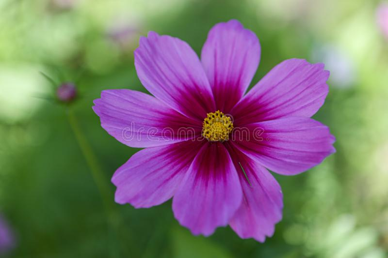 Cosmos flower trying to attract bees royalty free stock photography