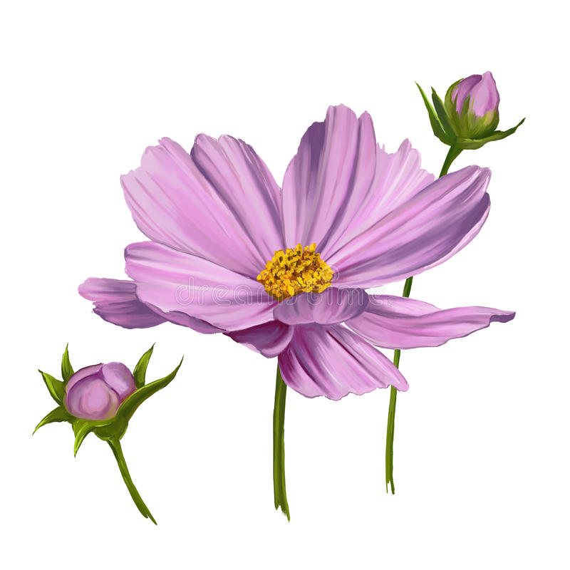 Cosmos flower vector illustration painted royalty free illustration