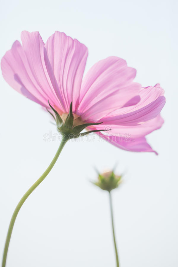 Download Cosmos flower stock photo. Image of flower, pink, nature - 38476456