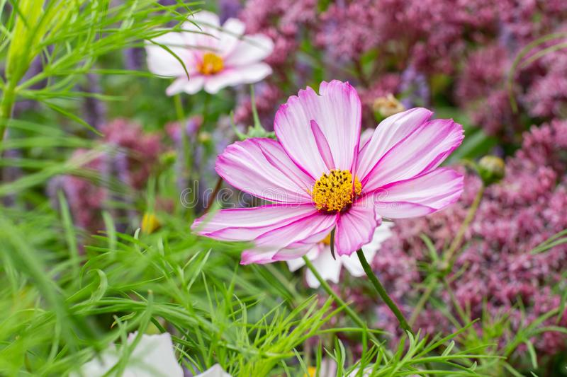 Cosmos flower white with yellow stamens in nature fresh rural landscape background royalty free stock images