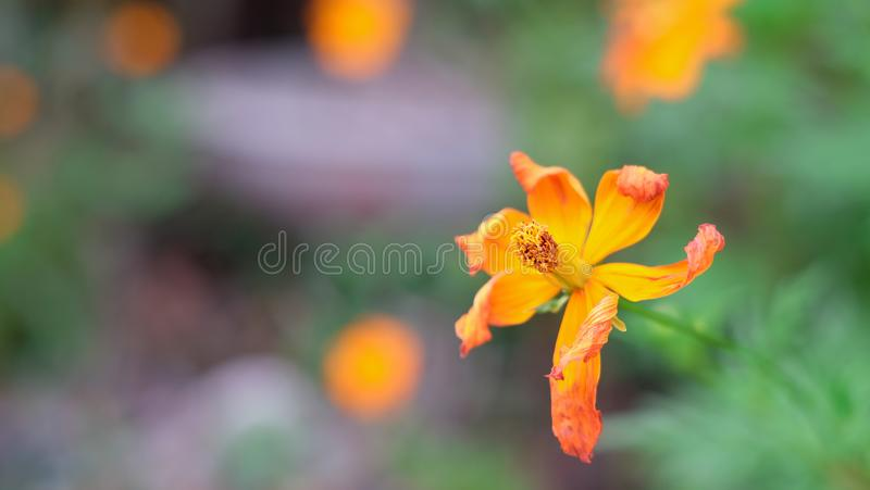 Cosmos flower  wither in the garden on blurred background. On blurred background royalty free stock images