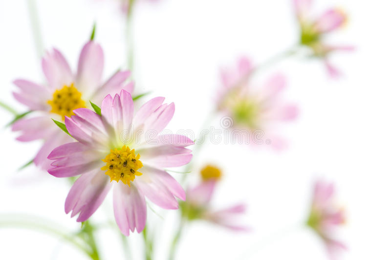 Download Cosmos Flowers Royalty Free Stock Photo - Image: 11151145
