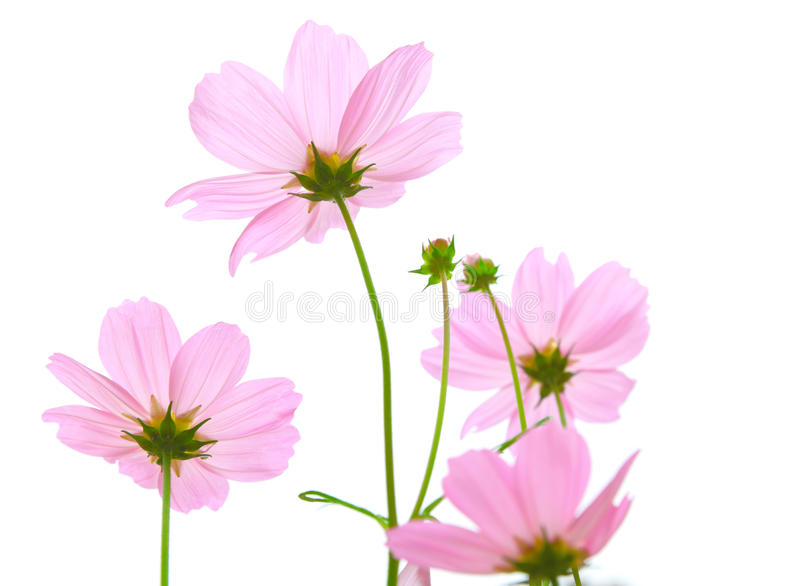 Download Cosmos flowers stock image. Image of autumn, green, beautiful - 24018727