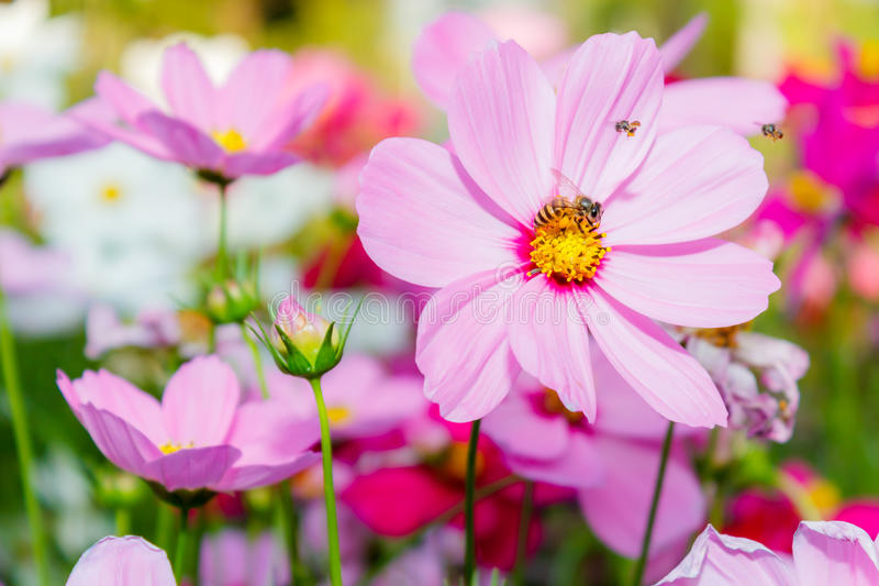 Cosmos flowers. With bee in field royalty free stock image