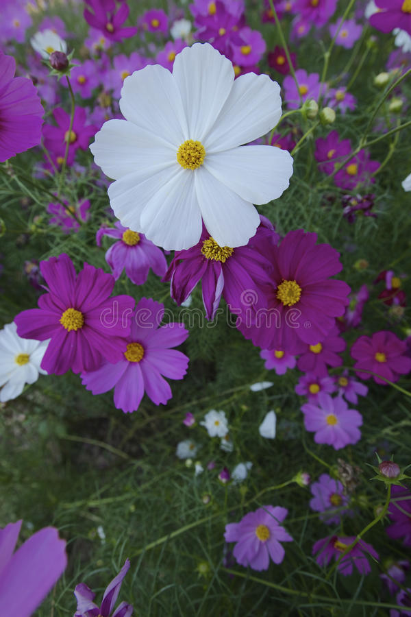 Cosmos flowers stock photo image of perennial formal 49094508 cosmos cosmos bipinnatus is an annual and perennial plant in the family asteraceae native to scrub and meadow areas in americas mightylinksfo