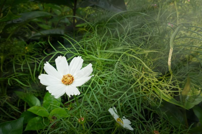 Cosmos flowers blooming royalty free stock photo