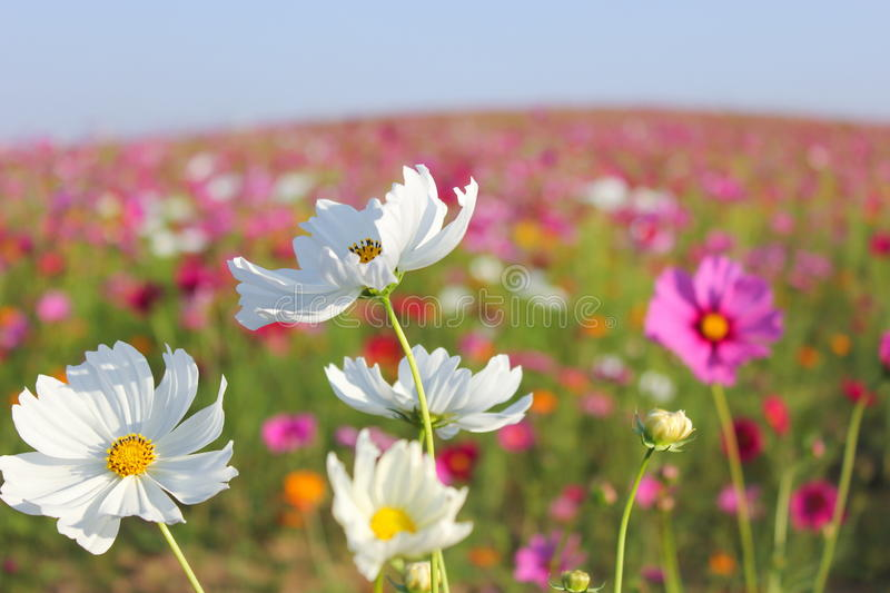 Cosmos Flowers blooming stock photo