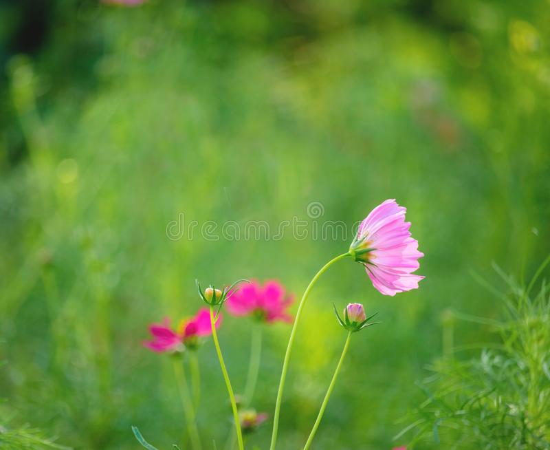 Cosmos flowers blooming in the garden ,Violet flowers ,Forest Flower. Cosmos flowers blooming in the garden,Violet flowers ,Forest Flower ,beutiful flowers stock images