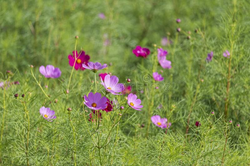 Cosmos flowers blooming in the garden ,Violet flowers ,Forest Flower. Cosmos flowers blooming in the garden,Violet flowers ,Forest Flower ,Nature ,Blossom royalty free stock photography