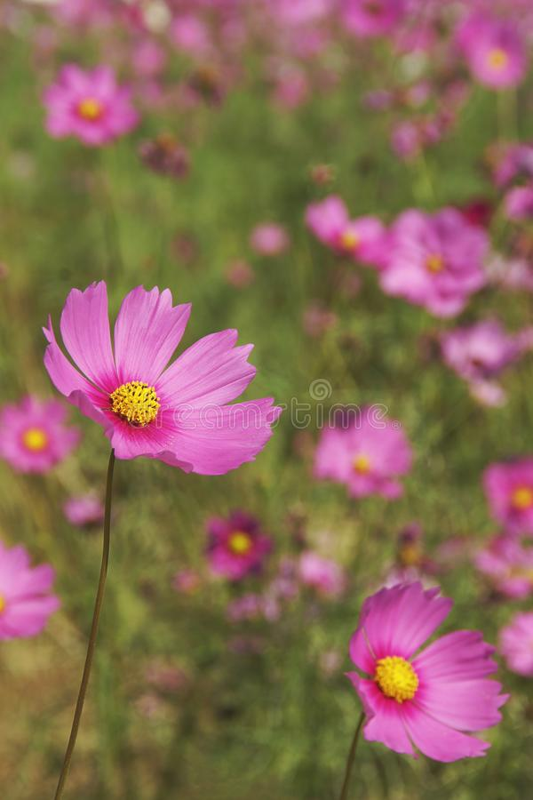 Cosmos Flowers Blooming in the Landscape stock photography