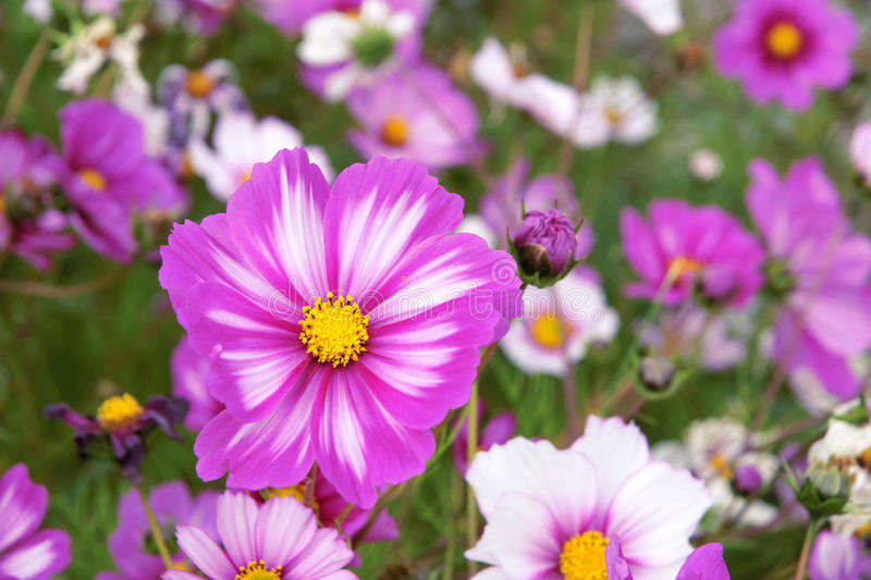 Cosmos flowers. The close-up of pink and white Cosmos flowers. Scientific name:Cosmos bipinnata stock image