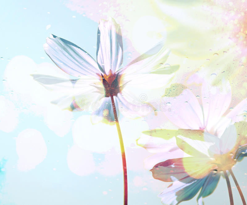 Cosmos flowers in the drops rain under glass with spring and blue sky soft blur background. stock illustration