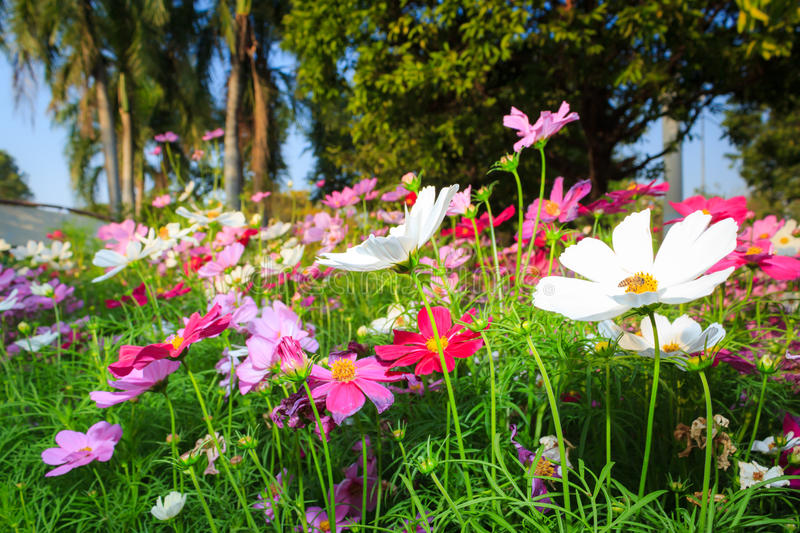 Cosmos flowers. In a field stock photo