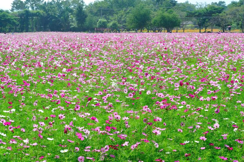 Download Cosmos Flowers Field Stock Photo - Image: 83703692