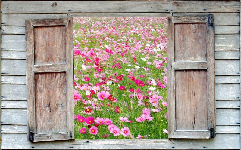 Cosmos flowers fields. In window stock image