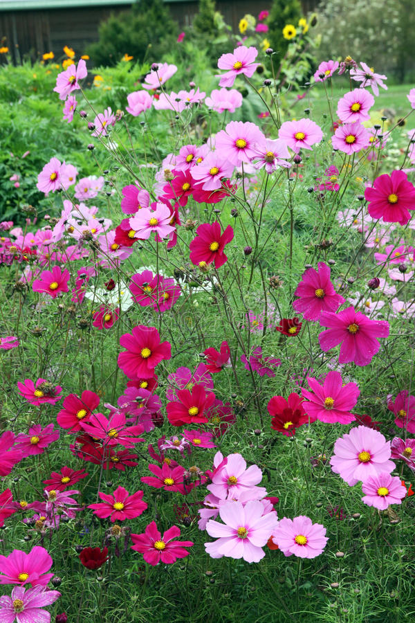 Cosmos flowers. Mexican Aster, Orange Cosmos, cosmos bipinnatus are long blooming annual flowers. Cosmos bipinnatus is easy to grow in a shady part of the garden stock image