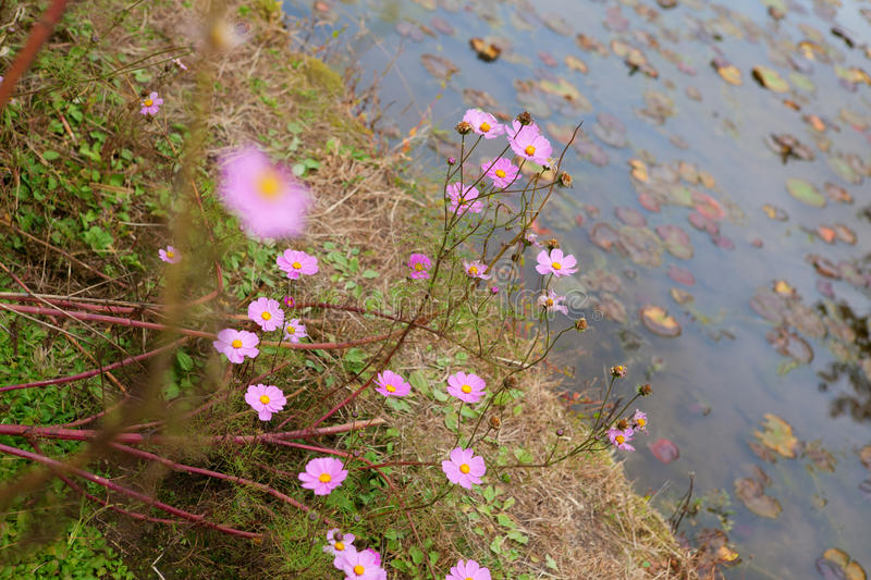 Download Cosmos Flowers Near Water Stock Photo Image Of Natural