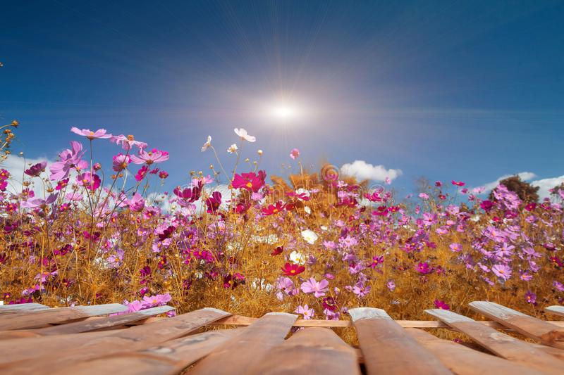 Cosmos Flowers with sunlight royalty free stock photo
