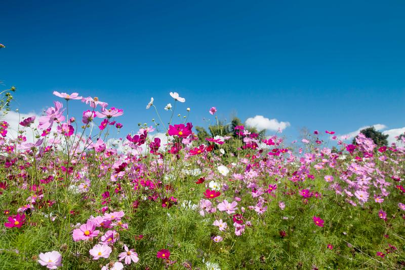 Cosmos Flowers with sunlight stock photo