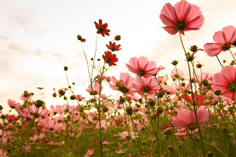 Cosmos flowers in sunset stock photos