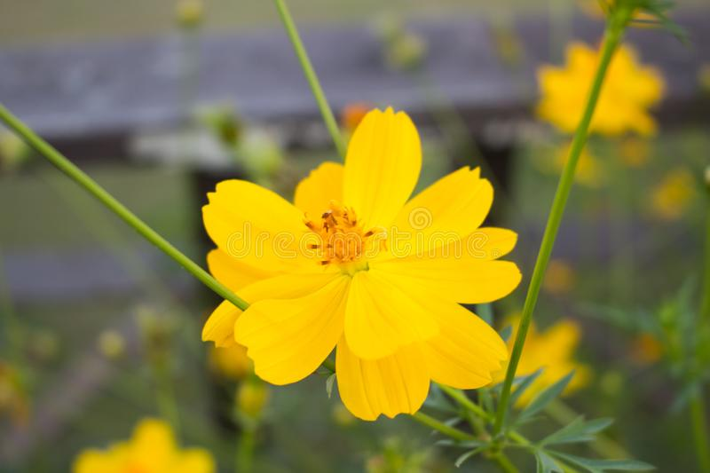 Cosmos flowers in sunset stock photography