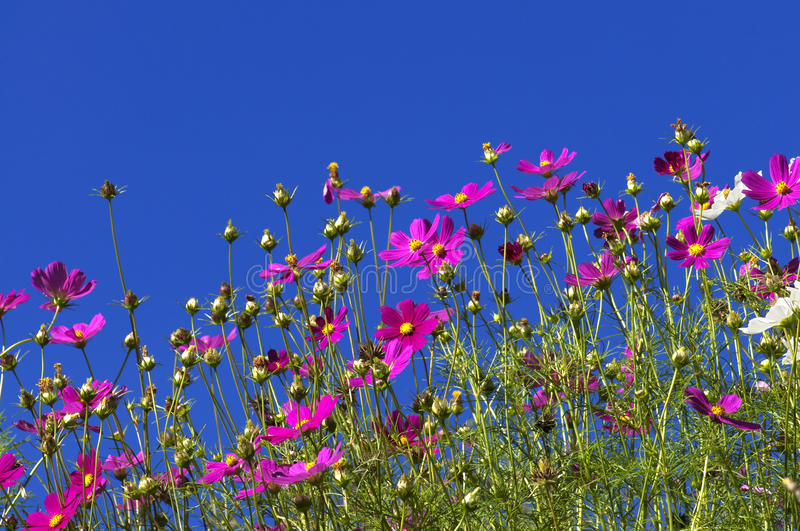 Cosmos Garden stock photography