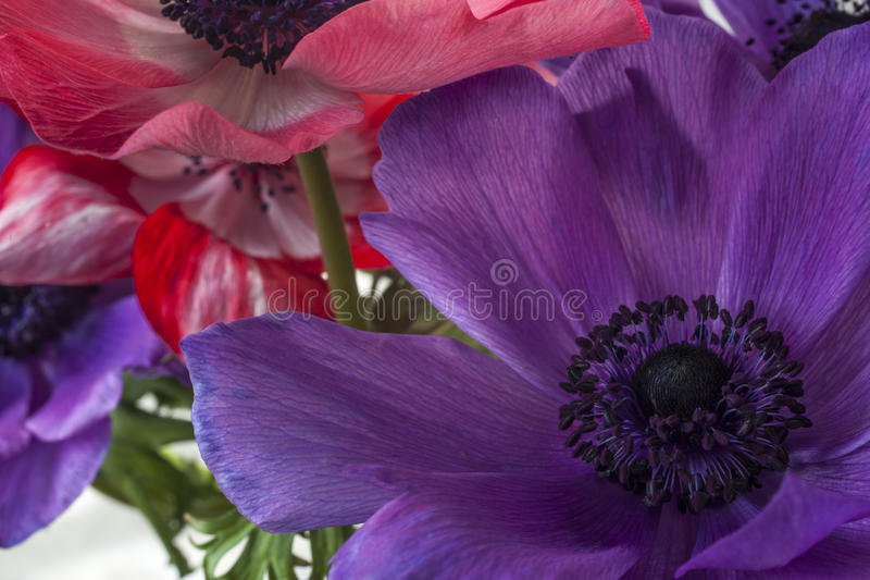 Cosmos  Herbaceous Perennial Plants Royalty Free Stock Photo