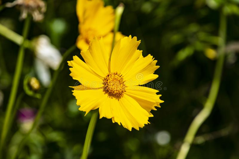 Cosmos o sulphureus amarillo del cosmos, cosmos del azufre Flor Naturaleza imágenes de archivo libres de regalías