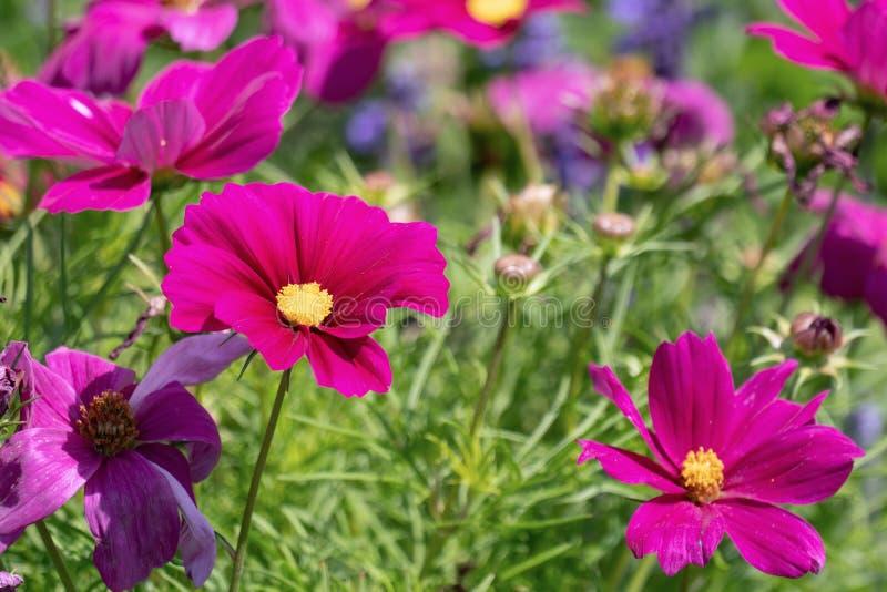 Cosmos púrpura colorido del jardín de las cabezas de flor del cosmea fotografía de archivo