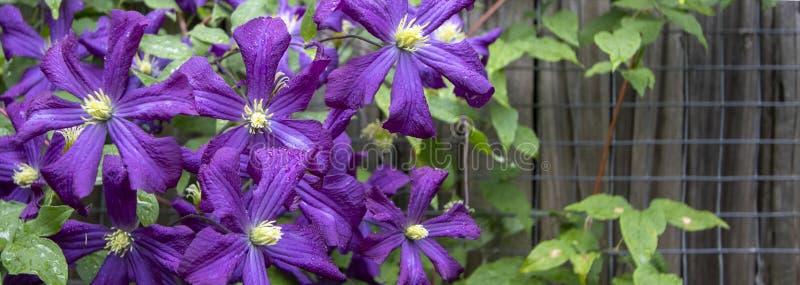 Cosmos púrpura después de la lluvia con el alambre y la cerca en fondo imagen de archivo libre de regalías