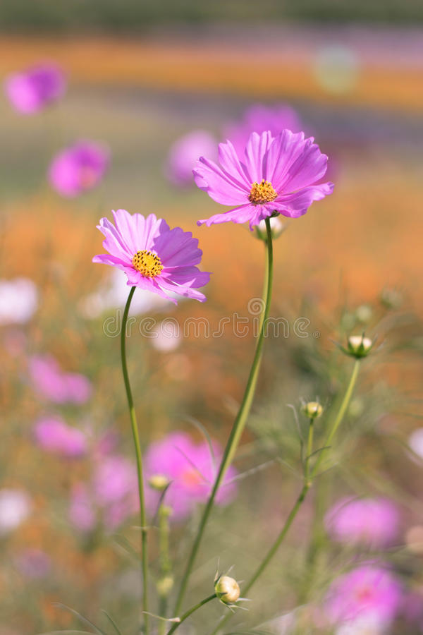 Cosmos pink flower out focus background royalty free stock image