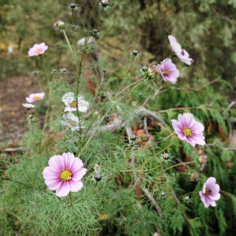 Cosmos rosado Bipinnatus de la flor del cosmos foto de archivo