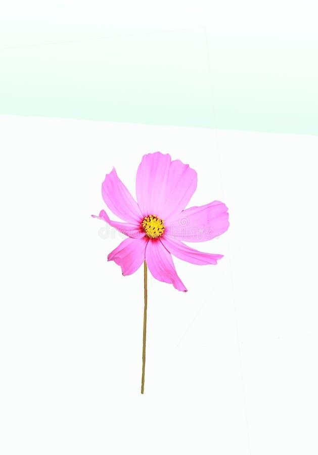 Download Cosmos Rose De Fleur Sur Le Fond Blanc Image stock - Image du riche, nature: 45368609