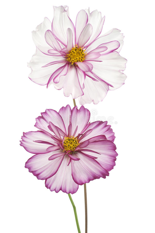 Download Cosmos stock image. Image of isolated, daisy, background - 39512883