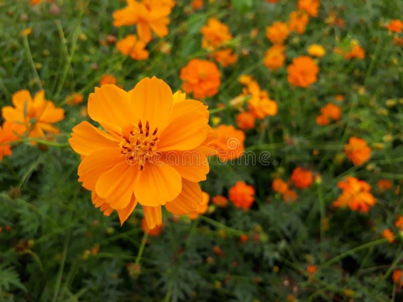 Cosmos sulphureus. Cosmos flower in the garden - Cosmos spp royalty free stock photography