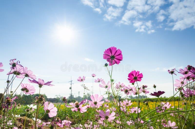 Cosmos y cielo rosados imágenes de archivo libres de regalías