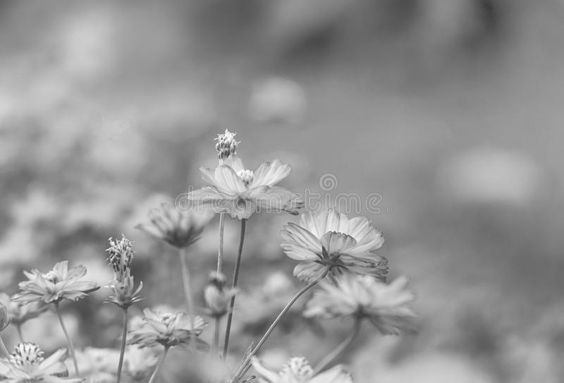 Cosmose flower in the field made with balck and white or grey co. Lor with copy space royalty free stock photos