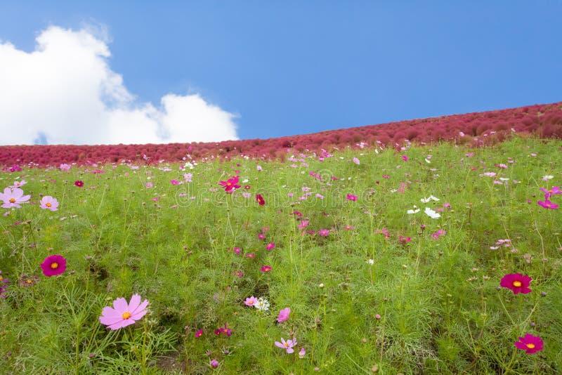 Cosmoses pole i kochias wzgórze zdjęcie royalty free
